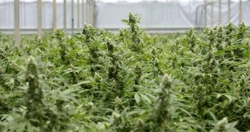 Illegaler Cannabis-Anbau in den Niederlande