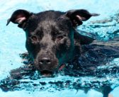 5 Reasons why Swimming is the Best Exercise for Dogs