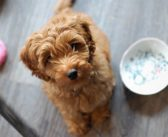 9 Tips to Properly Groom Your Labradoodle